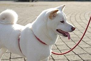 "Shiba Inu - A ""white"" (also called ""cream"") Shiba Inu"