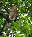 Shikra (Male) at Kolkata I Picture 238.jpg