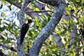 Shore birds, mangrove tour (24356454470).jpg