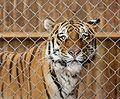 Sibirischer Tiger Panthera tigris altaica Tierpark Hellabrunn-21.jpg