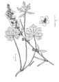 Sidalcea oregana-linedrawing.png