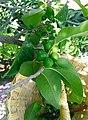 Sideroxylon palmeri.jpg