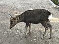 Sika Deer path.jpg