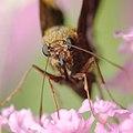 Silver spotted skipper on a butterfly bush, -1 (14918437506).jpg
