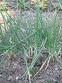 Sint Jansui planten.jpg