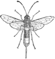 Sirex gigas illustration.png