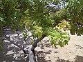 Siriguela (vista da árvore).jpg
