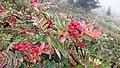 Sitka Mountain-ash (Sorbus sitchensis) (7967518190).jpg