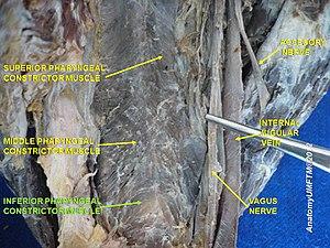 Inferior pharyngeal constrictor muscle - Image: Slide 5iiii