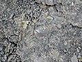Small mud nodule (Vinton Member, Logan Formation, Lower Mississippian; Rt. 16 roadcut, northeast of Frazeysburg, Ohio, USA) 6 (12799990663).jpg