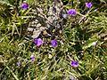 Smithia purpurea Hook. (11563737475).jpg