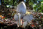 Smooth Ink Cap (Coprinus atramentarius) (25255307908).jpg