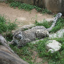 Snow Leopard concentrated.jpg