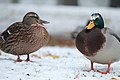 Snow and ducks.jpg