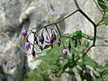 Solanum dulcamara (2943625375).jpg