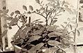 Solanum kurtzianum.jpg