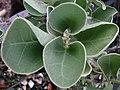 Solanum nelsonii (6361703293).jpg