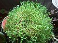 Soleirolia soleirolii001.JPG