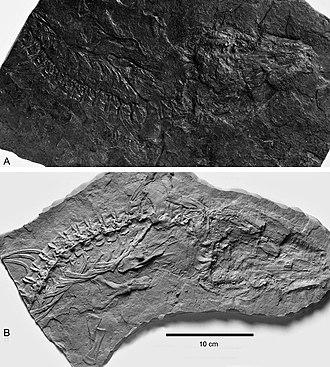Solenodonsaurus - The original fossil (A) and its plaster cast (B)