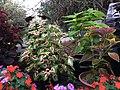 Solenostemon scutellarioides cultivars public domain IMG 4802.jpg