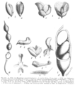 Sophoreae spp Taub103a.png