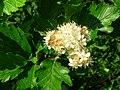 Sorbus arranensis.JPG