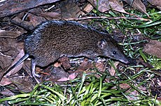 Southern Brown Bandicoot Victoria.jpg