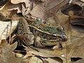 Southern Leopard Frog - Flickr - GregTheBusker (5).jpg