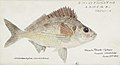 Southern Pacific fishes illustrations by F.E. Clarke 18.jpg