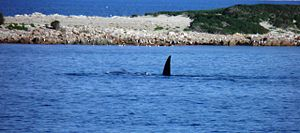 Lipson Cove - Image: Southern Right Whales Lipson Cove