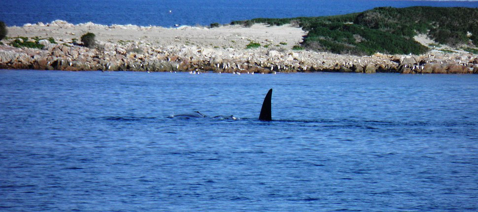Southern Right Whales Lipson Cove