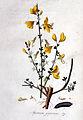 Spartium scoparium — Flora Batava — Volume v1.jpg