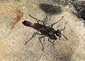 Sphecidae (33586673065).jpg