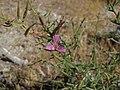 Spiny rushpink, Pleiacanthus spinosus (16024759368).jpg