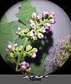 Spiraea ×billardii sl4.jpg