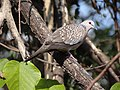 Spotted Dove - Streptopelia chinensis - DSC04610.jpg
