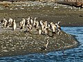 Spotted Shags (6943688200).jpg