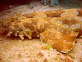 Spotted wobbegong.jpg