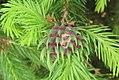 Spruce gall (NH266) (22597328372).jpg