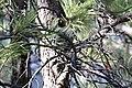 Squirrel hidden in tree (7166796105).jpg