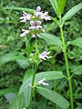 Stachys riederi top of plant.JPG