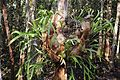 Staghorn Fern (Florida) - panoramio.jpg