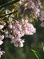 Staphylea holocarpa rosea (17065656980).jpg