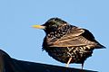 Starling on the roof.jpg