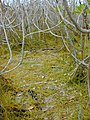 Starr-010520-0080-Cassytha filiformis-habit under naupaka-Inland-Kure Atoll (24506593016).jpg
