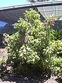 Starr-040405-0201-Charpentiera obovata-habit-Hoolawa Farms-Maui (24583153762).jpg