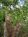 Starr-050517-1566-Ficus macrophylla-on post-Puu o Hoku Ranch-Molokai (24669697471).jpg