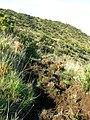 Starr-051122-5254-Leptecophylla tameiameiae-habit and pig dig-Haleakala Ranch-Maui (24823145556).jpg