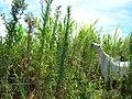 Starr-060820-8601-Conyza bonariensis-habit and horses grazing-Makawao-Maui (24568857380).jpg