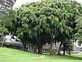 Starr-070404-6635-Ficus benjamina-large trees-Koele-Lanai (24860728716).jpg